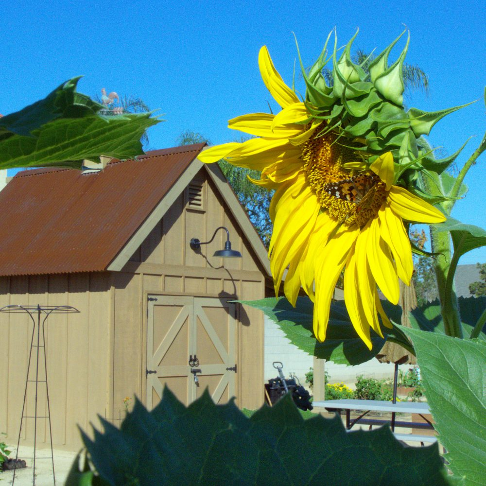 Crops grow in community garden